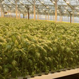 Green Automation - Living Lettuce system - Large Basil plants