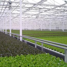 Green Automation - Living Lettuce system - Lettuce heads